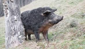 Le cochon et l'hirondelle